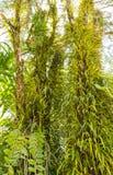 Alter Baum und Parasit Stockfotos