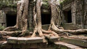 Alter Baum und Ruinen von Angkor Stockbild
