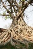 Alter Baum von Wat Sawai Lizenzfreie Stockbilder