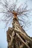Alter Baum von Wat Sawai, Sukhothai Lizenzfreie Stockfotos