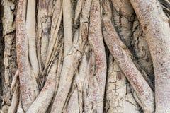 Alter Baum-Wurzel-Hintergrund lizenzfreie stockfotos