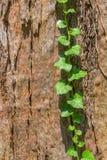 Alter Baumrindeabschluß herauf Ansicht Lizenzfreie Stockbilder