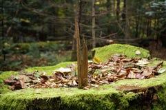 Alter Baumstumpf bedeckt mit grünem Moos Stockfotografie