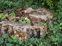 Alter Baumstumpf in einem Wald Lizenzfreies Stockbild