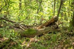 Alter Baumstumpf liegt überwuchert im grünen Wald stockfotos