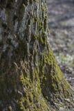 Alter Baumtexturstamm mit Streifen und Wachstum belichtet durch die Sonne lizenzfreies stockfoto
