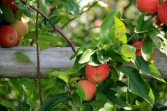 Alter Beitrag, der mit den Äpfeln bereit zur Ernte ficht Lizenzfreies Stockfoto
