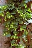 Alter bereifter Zaun gewachsen mit Grünpflanzen Lizenzfreies Stockbild