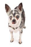 Alter blinder Chihuahua-Hund Lizenzfreies Stockbild