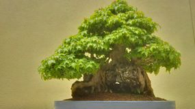 Alter Bonsai-Baum Stockfotos
