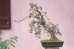 Alter Bonsaibaum in einem Vase stockfoto