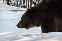 Alter Braunbär, der im Winterwald jagt Lizenzfreies Stockfoto