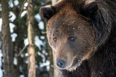 Alter Braunbär, der irgendwo anstarrt Stockfotografie