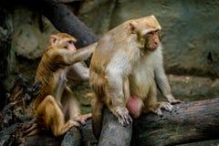 Alter brauner Affe Stockfoto