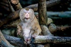 Alter brauner Affe Stockbild