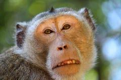 Alter brauner Affe, der Kamera in einem Zoo betrachtet Lizenzfreies Stockfoto