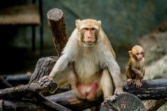 Alter brauner Affe und Sohn Lizenzfreie Stockfotos