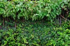 Alter Bretterzaun mit dem Efeu oder grünen Zierpflanzen, zum dichtes an einem regnerischen Tag morgens zu bedecken stockbild