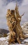 Alter Bristlecone-Baum Lizenzfreie Stockfotografie