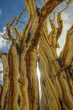 Alter Bristlecone-Baum Stockfoto