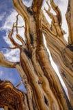Alter Bristlecone-Baum Lizenzfreie Stockfotos