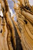 Alter Bristlecone-Baum Stockfotografie