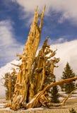 Alter Bristlecone-Baum Stockbilder