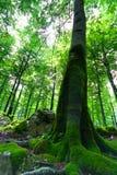 Alter Buchebaum in einem grünen Wald Stockbild