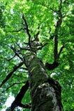 Ein alter Buchenbaum Lizenzfreie Stockfotografie