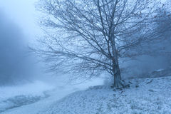 Alter Buchenbaum im Winternebel Lizenzfreie Stockfotografie