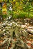 alter Buchenbaum mit netten Wurzeln Lizenzfreie Stockbilder