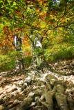 alter Buchenbaum mit netten Wurzeln Stockbilder