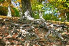 alter Buchenbaum mit netten Wurzeln Lizenzfreies Stockfoto