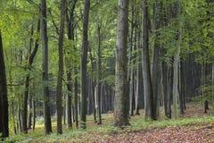 Alter Buchenwald im Herbst Lizenzfreie Stockbilder