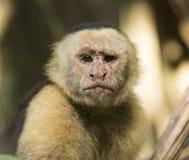 Alter Capuchin-weißer gegenübergestellter Affe Lizenzfreies Stockfoto