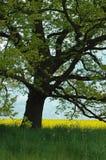 Alter Eichen-Baum auf dem Raps-Gebiet Stockbilder