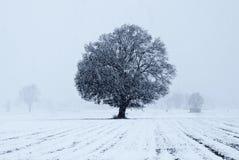 Alter Eichenbaum Stockbilder