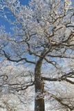 Alter Eichenbaum Lizenzfreies Stockbild