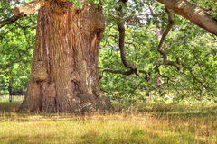 Alter Eichenbaum HDR. Stockfoto