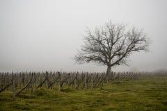 Alter einsamer Baum im Weinberg im Nebel In Georgia lizenzfreie stockfotografie