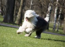 Alter englischer Schäferhund Lizenzfreie Stockfotos