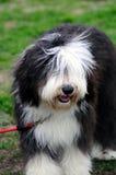 Alter englischer Schäferhund Lizenzfreies Stockbild