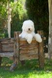 Alter englischer Schäferhund Lizenzfreie Stockfotografie