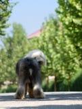 Alter englischer Schäferhund Stockfoto