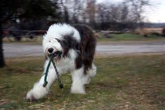 Alter englischer Schäferhund, der Reichweite spielt stockfotografie