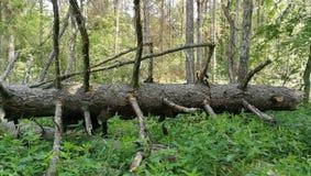 Alter enormer gezierter Baum gebrochenes Lügen Lizenzfreie Stockfotos
