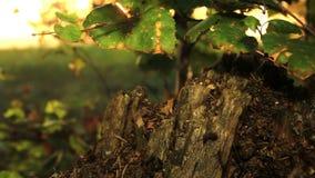 Alter fauler Birkenstumpf und -ameisen stock footage