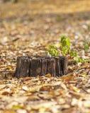 Alter fauler Stumpf mit einer Schnecke mitten in gefallenen gelben FO stockfotografie