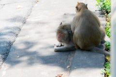 Alter fetter Affe sucht nach Läusen auf einem Freund ` s Körper Lizenzfreie Stockbilder