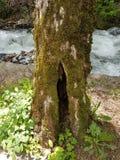 Alter Formbaum stockfoto